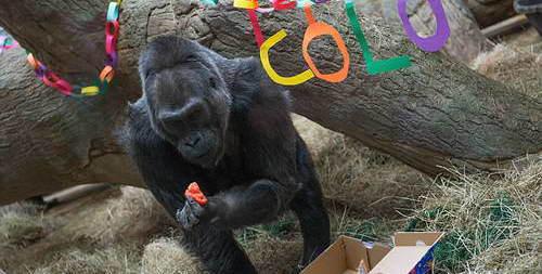 Горилла долгожтель - сколько живут гориллы - 59 лет, это максимум