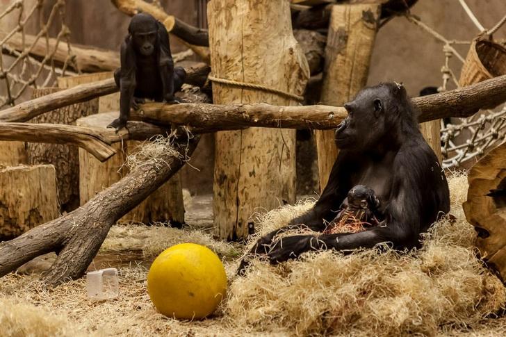 Гориллы в зоопарке