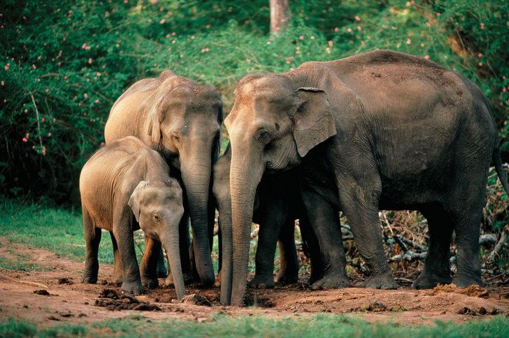Сколько весит индийский слон? Ответ в статье.