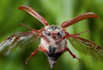 Сколько живет майский жук, появившись на земле