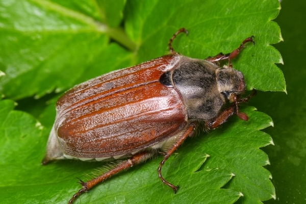 Сколько живет майский жук