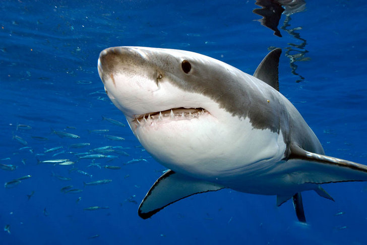 Сколько живут - Белые акулы