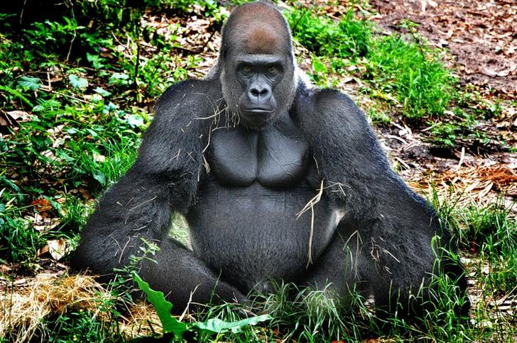Сколько живут гориллы