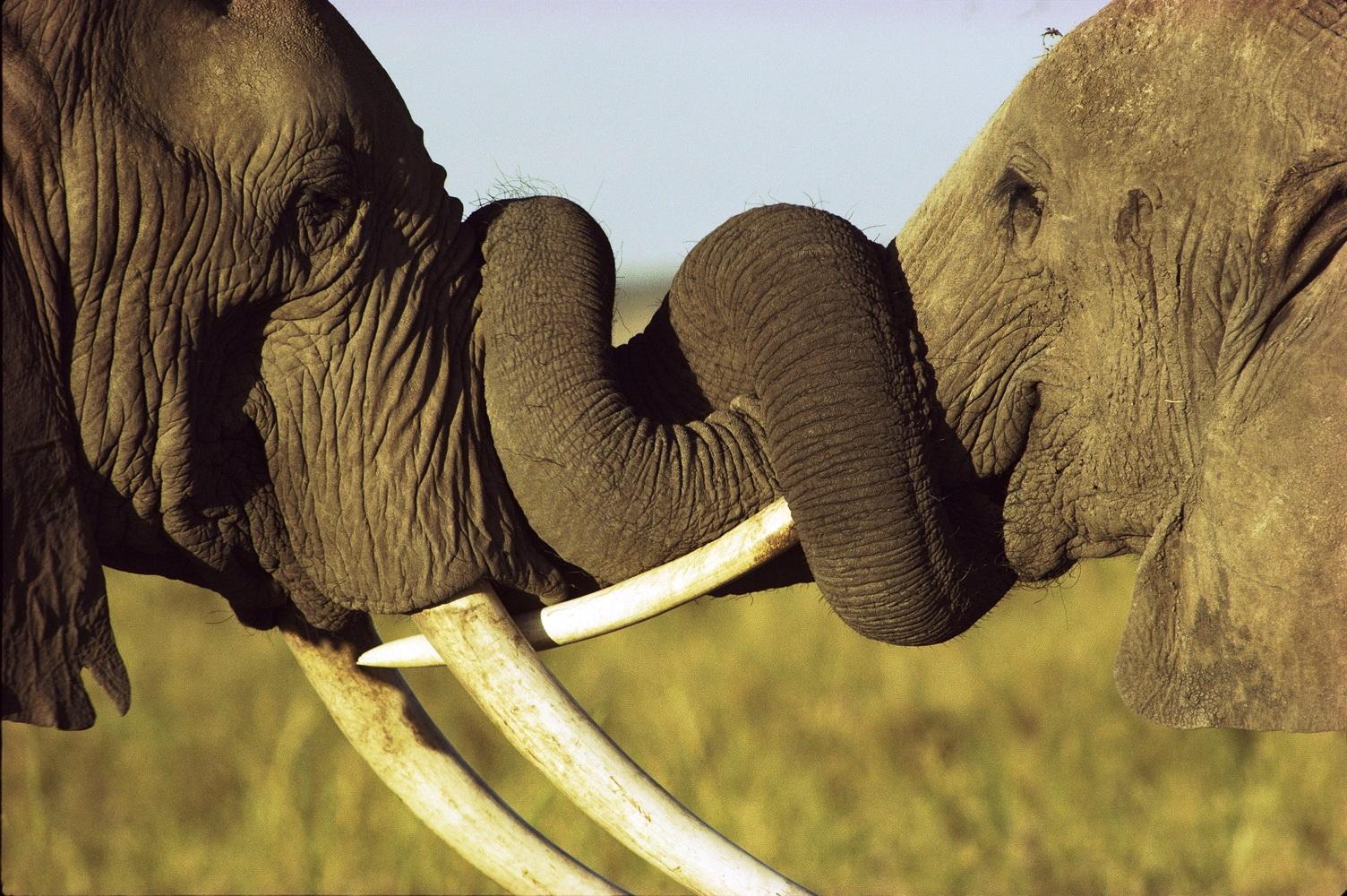 Сколько весит слон - бивни слонов