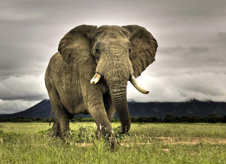 Африканский - сколько весит слон?