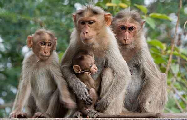 Сколько хромосом у обезьяны