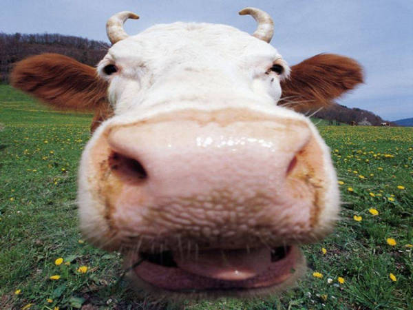 Сколько зубов у коровы от куда они растут