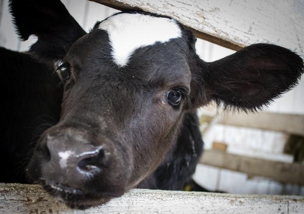 Сколько зубов у коровы